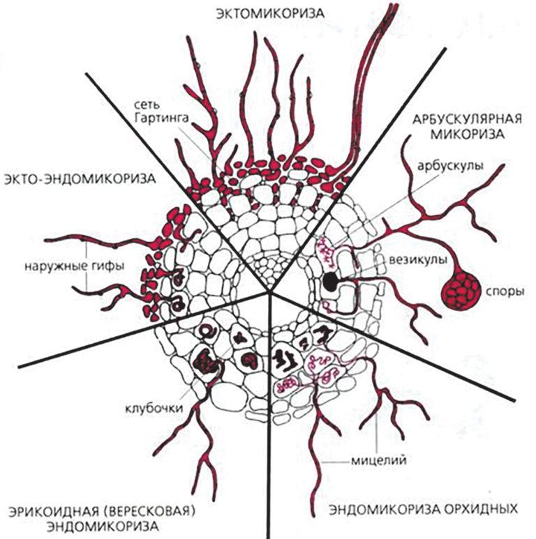 Что такое арбускулярная микориза?